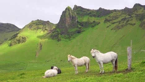 Schöne-Isländische-Ponys-Stehen-Auf-Einer-Grünen-Wiese-In-Island-1
