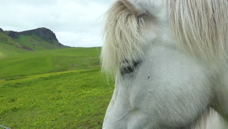 Close-up-of-a-beautiful-Icelandic-pony-horse-standing-in-a-green-field-in-Iceland