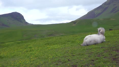 Close-up-of-a-beautiful-Icelandic-pony-horse-lying-in-a-green-field-in-Iceland
