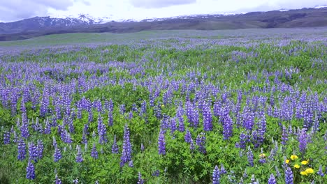 Purple-lupine-flowers-grow-in-a-stark-volcanic-landscape-in-Iceland-2