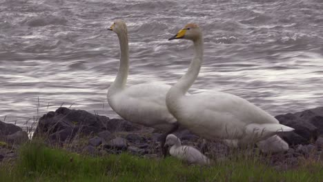 Whooper-swans-walk-with-chick-babies-along-a-rushing-river-in-Iceland