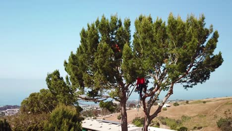 Aerial-of-a-tree-trimmer-cutting-branches-in-a-tree-in-a-hillside-neighborhood-1