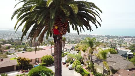 Aerial-of-a-tree-trimmer-cutting-palm-tree-fronds-on-a-southern-california-hillside