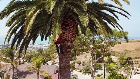 Aerial-of-a-tree-trimmer-cutting-palm-tree-fronds-on-a-southern-california-hillside-1