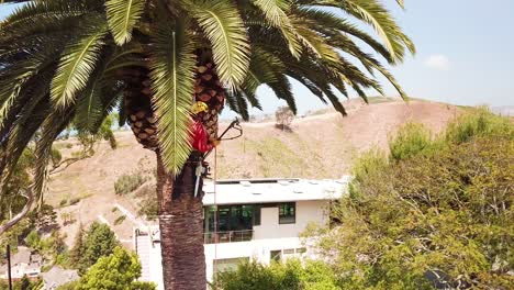 Aerial-of-a-tree-trimmer-cutting-palm-tree-fronds-on-a-southern-california-hillside-3