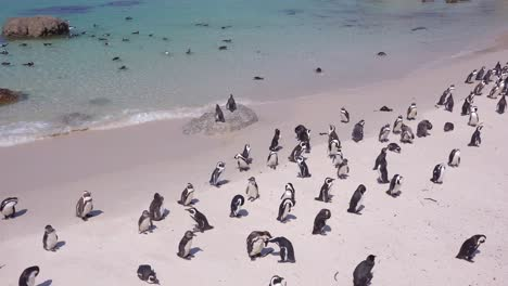 Dozens-of-jackass-black-footed-penguin-sit-on-a-beach-on-the-Cape-of-Good-Hope-South-Africa-1