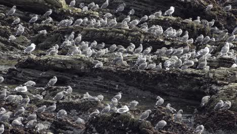 A-large-flock-of-California-gulls-(Larus-californicus)-on-the-rocky-Pacific-Coast-shoreline-at-Pismo-Beach-California