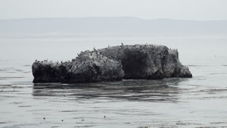 California-Brown-Pelicans-(Pelecanus-occidentalis-californicus)-and-other-birds-on-a-rock-island-Pismo-Beach-California-1