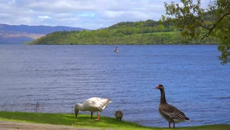 Ducks-wander-on-the-shore-of-Loch-Lomand-Scotland
