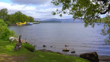 Ducks-wander-on-the-shore-of-Loch-Lomand-Scotland-1
