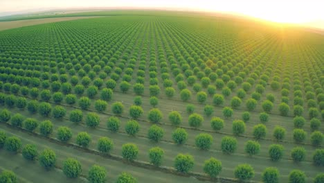 A-beautiful-aerial-over-a-huge-almond-orchard-in-California-at-sunset