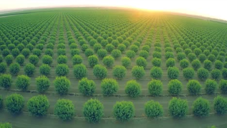 A-beautiful-aerial-over-a-huge-almond-orchard-in-California-at-sunset-1