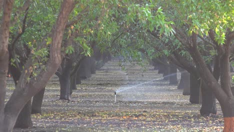 Almond-trees-are-watered-in-a-California-field-during-a-period-of-drought-3