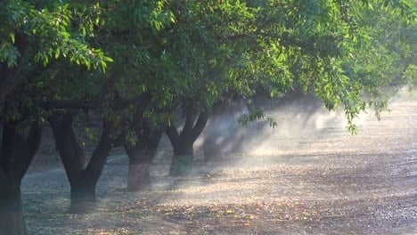 Almond-trees-are-watered-in-a-California-field-during-a-period-of-drought-4