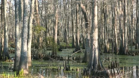 Establishing-shot-of-a-thick-mangrove-swamp-in-Louisiana-1