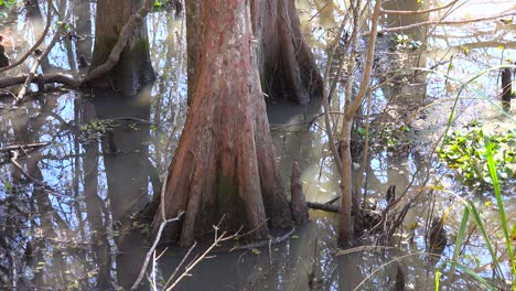 A-mangrove-trees-grows-out-of-wet-swampland-in-Louisiana
