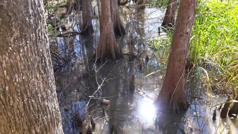 A-mangrove-trees-grows-out-of-wet-swampland-in-Louisiana-1