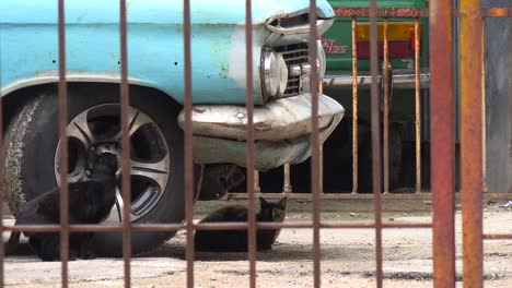 A-cat-sits-underneath-an-old-car-in-havana-Cuba
