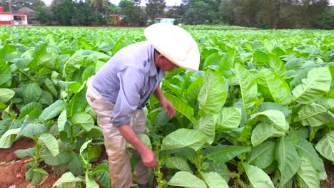 A-tobacco-farmer-works-in-the-fields-near-Vinales-Cuba