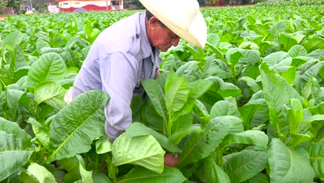 A-tobacco-farmer-works-in-the-fields-near-Vinales-Cuba-1