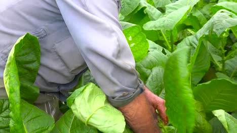 A-tobacco-farmer-works-in-the-fields-near-Vinales-Cuba-2