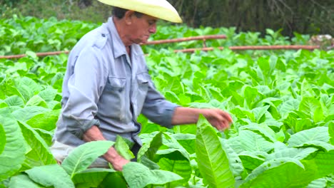 A-tobacco-farmer-works-in-the-fields-near-Vinales-Cuba-3