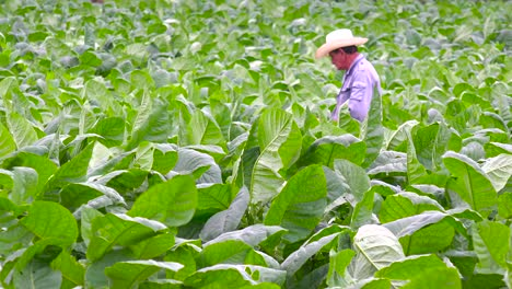 A-tobacco-farmer-works-in-the-fields-near-Vinales-Cuba-4