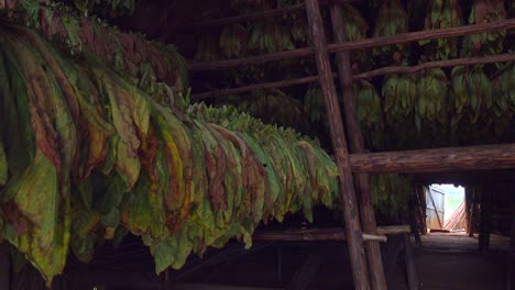 Interior-of-a-tobacco-barn-in-Cuba-with-leaves-drying-1