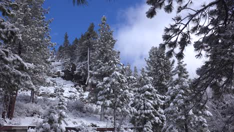 Ice-and-snow-hang-on-pine-trees-in-a-forest-glade-in-winter