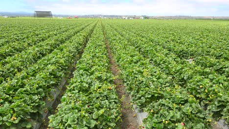 A-wide-shot-of-California-strawberry-fields-and-farms