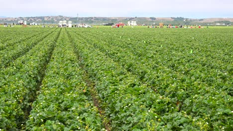 A-wide-shot-of-distant-migrant-workers-in-California-strawberry-fields-and-farms
