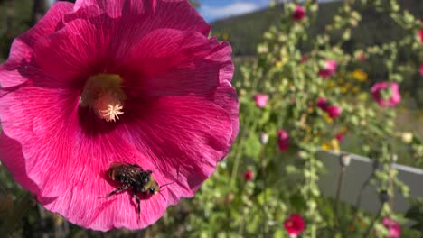 A-bumblebee-pollinates-a-large-pink-flower-in-the-fields