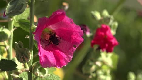 Un-Abejorro-Poliniza-Una-Gran-Flor-Rosa-En-El-Jardín