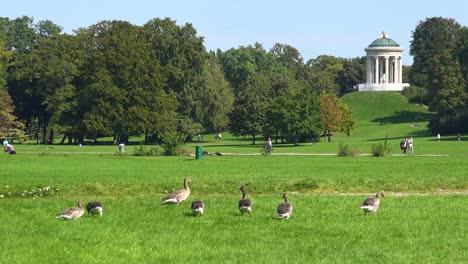 Wild-geese-walk-through-English-Park-in-Munich-Germany