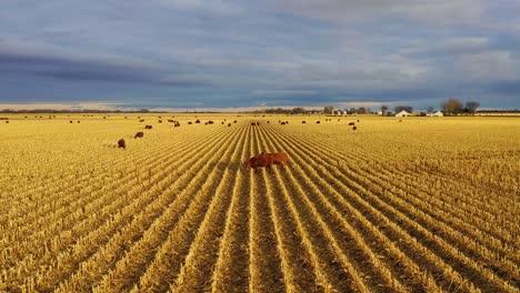 Schöne-Drohnenantenne-über-Feldern-Mit-Kühen-In-Der-Abenddämmerung-Im-Ländlichen-Nebraska