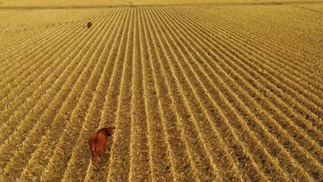 Beautiful-drone-aerial-over-farm-fields-with-cows-at-dusk-in-rural-Nebraska-1