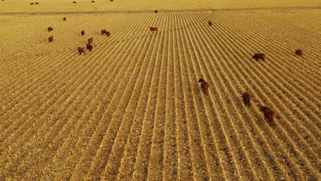 Beautiful-drone-aerial-over-farm-fields-with-cows-at-dusk-in-rural-Nebraska-2