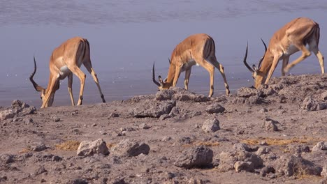 Nervous-impala-gather-at-a-watering-hole-on-safari-in-Africa