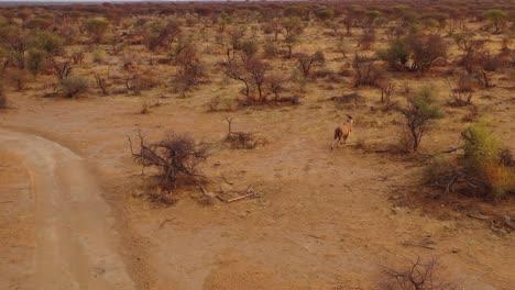 Antena-Drone-Siguiendo-Un-Eland-Mientras-Trota-Al-Atardecer-A-Través-De-Las-Llanuras-De-África