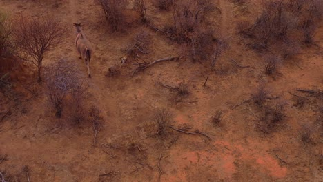 Drone-vista-aérea-following-an-eland-as-it-trots-at-sunset-across-the-plains-of-Africa-1