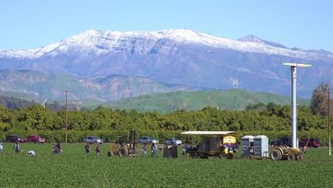 Immigrant-farm-workers-labor-in-the-fields-picking-strawberries-with-snowcovered-California-mountains-in-background-near-Fillmore-California