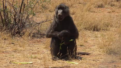 A-baboon-sits-in-a-field-in-africa-and-eats-some-celery