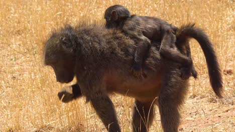A-mother-baboon-carries-a-baby-baboon-on-her-back-across-a-field-in-Africa