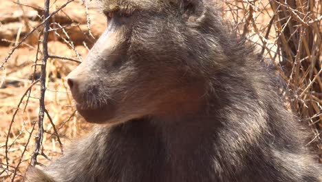 Close-up-of-an-adult-baboon-eating-and-looking-around-on-safari-in-Africa