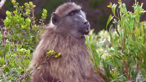 Cute-shot-of-an-adult-baboon-turning-around-and-looking-over-shoulder-on-jungle-safari