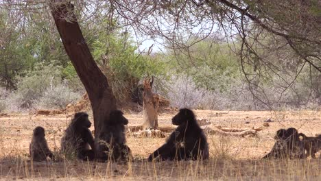 A-group-of-baboons-sit-under-a-tree-in-Africa-and-enjoy-the-shade