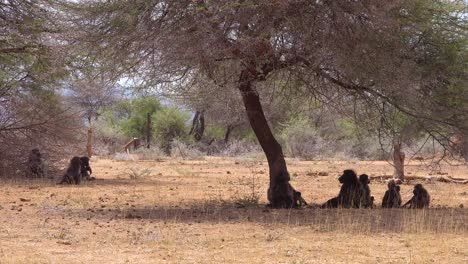 A-group-of-baboons-sit-under-a-tree-in-Africa-and-enjoy-the-shade-1
