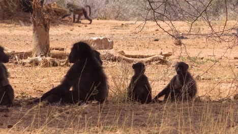 A-group-of-baboons-sit-under-a-tree-in-Africa-and-enjoy-the-shade-2