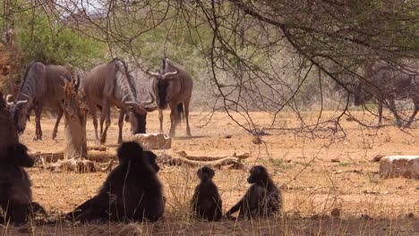 A-herd-of-wildebeest-move-across-the-African-savannah-with-baboon-apes-looking-on-from-under-a-tree
