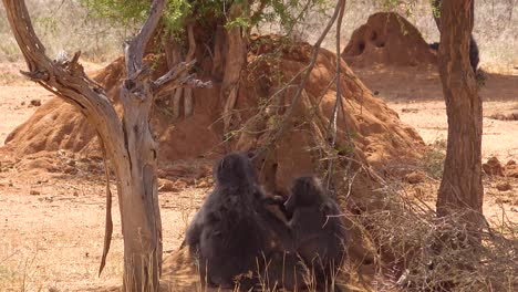 Two-baboons-groom-each-other-on-the-African-plain-with-large-termite-mounds-background